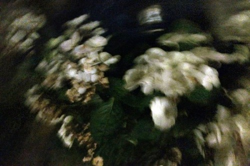 Hydrangea on a windy night